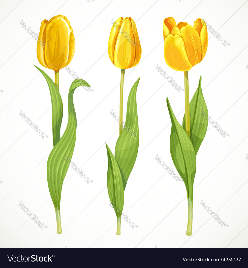 Three yellow flowers tulips isolated on a vector | Price: 3 Credit (USD $3)