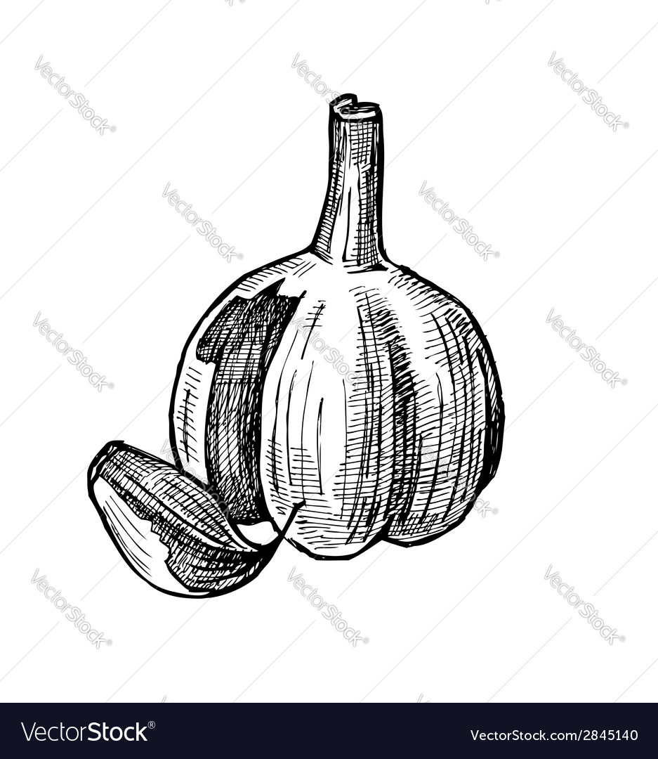 Hand drawn of garlic vector | Price: 1 Credit (USD $1)