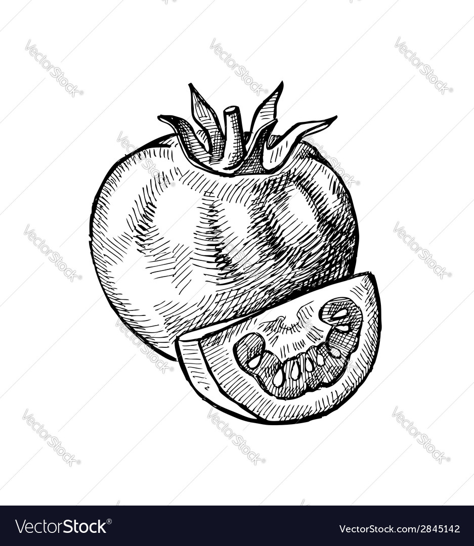 Hand drawn of tomato vector | Price: 1 Credit (USD $1)