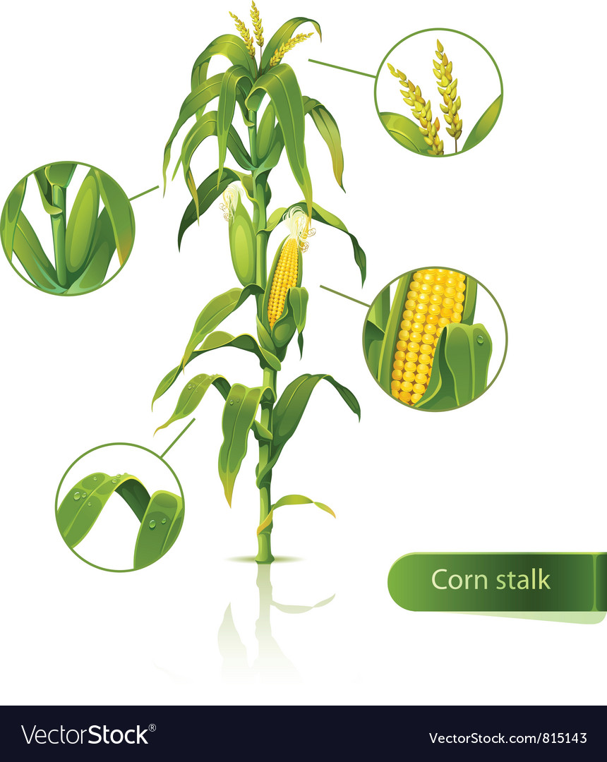 Corn stalk vector | Price: 3 Credit (USD $3)
