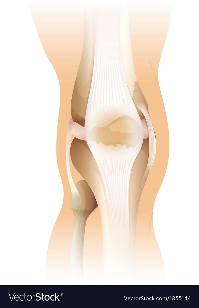 Human knee vector   Price: 1 Credit (USD $1)
