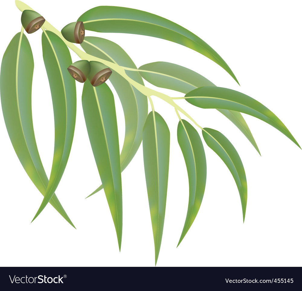 Eucalyptus branch vector | Price: 1 Credit (USD $1)