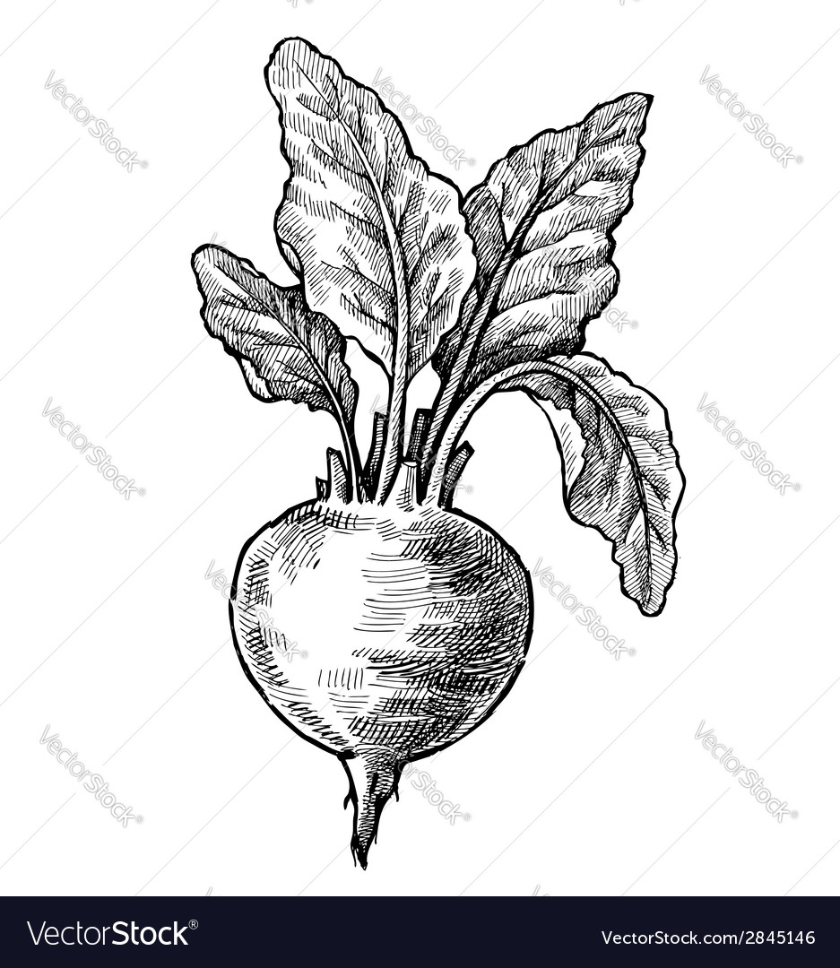 Hand drawn of beet vector | Price: 1 Credit (USD $1)