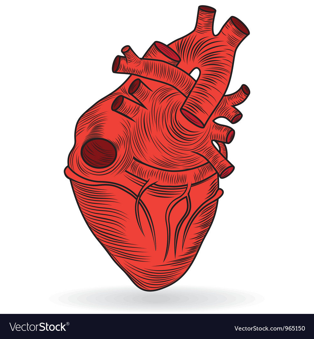 Heart human body anatomy sketch vector | Price: 1 Credit (USD $1)