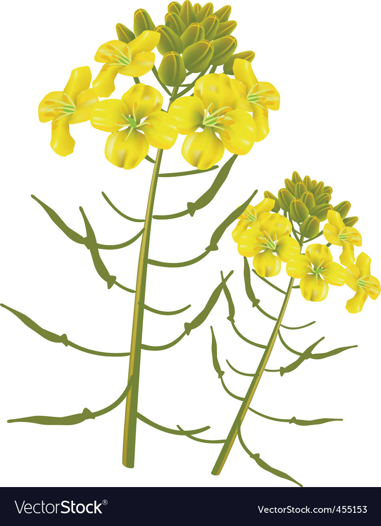 Mustard flower vector | Price: 1 Credit (USD $1)
