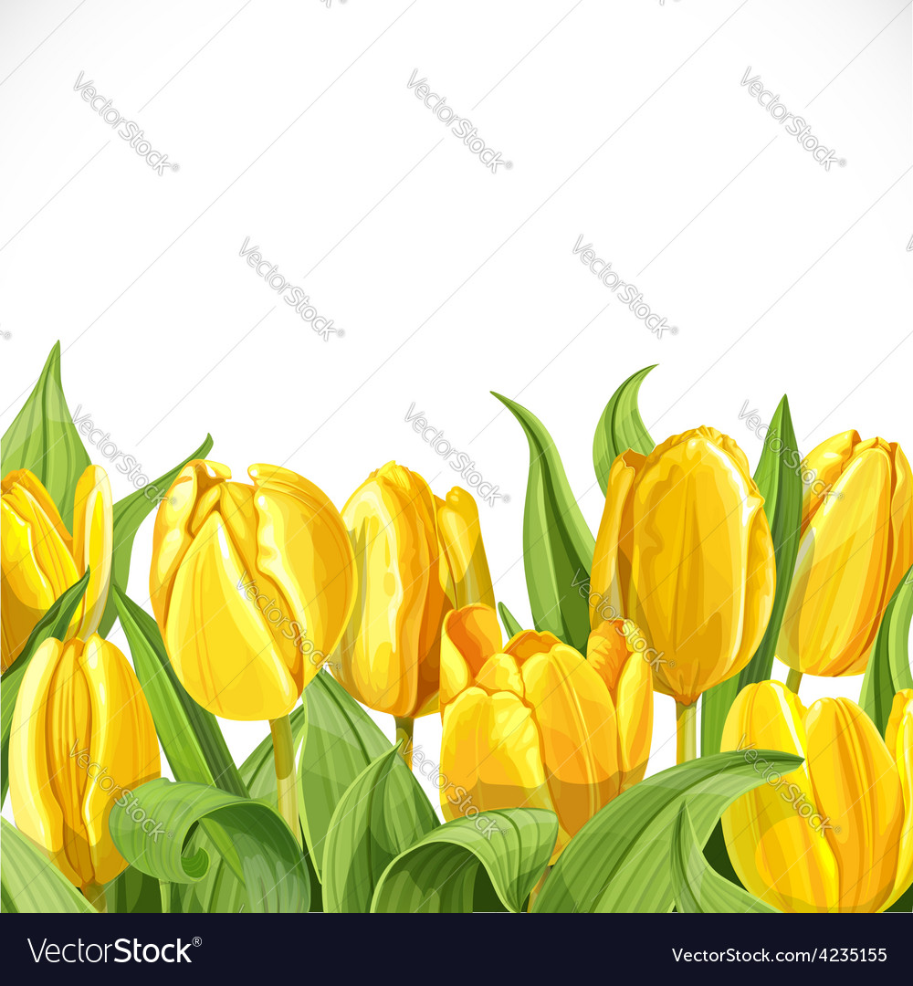 Yellow tulips on white background vector | Price: 3 Credit (USD $3)