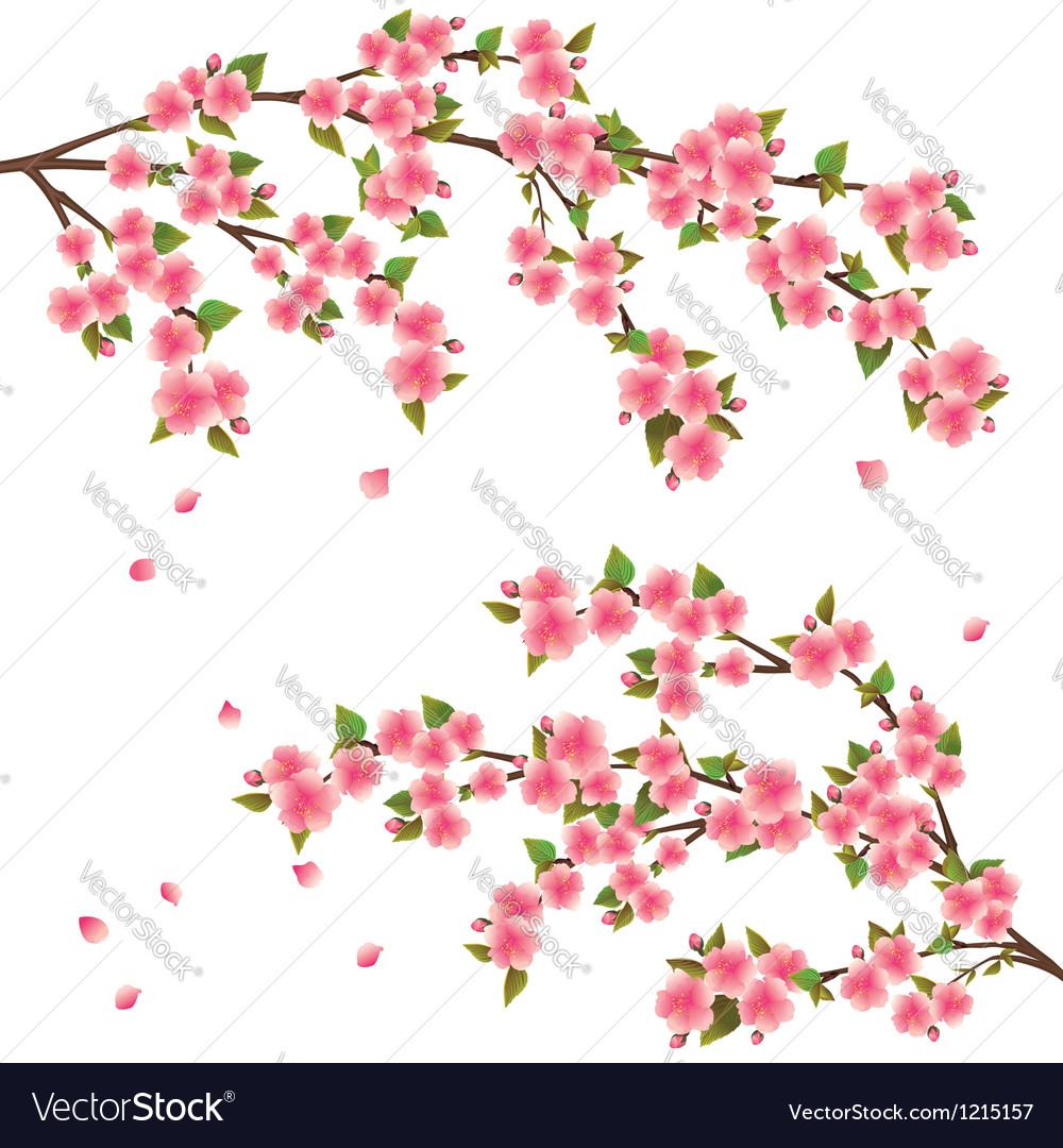 Sakura blossom japanese cherry tree isolated vector | Price: 1 Credit (USD $1)