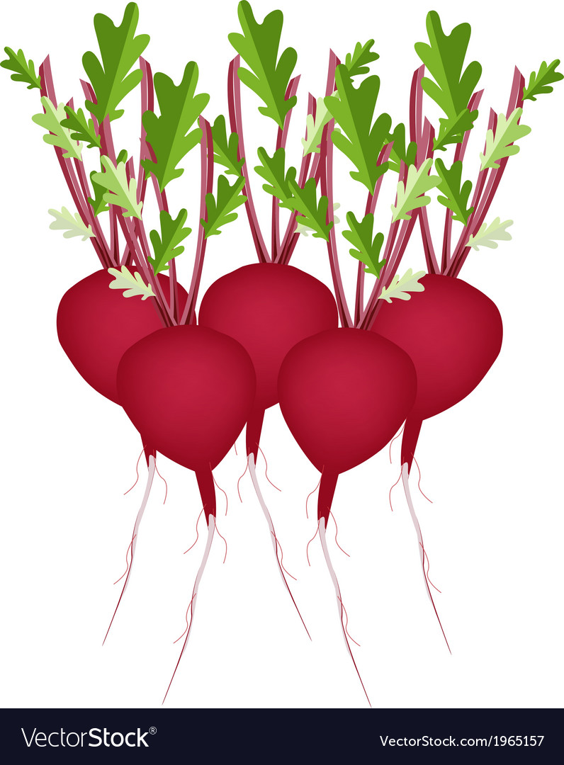 Stack of radish or beet on white background vector   Price: 1 Credit (USD $1)
