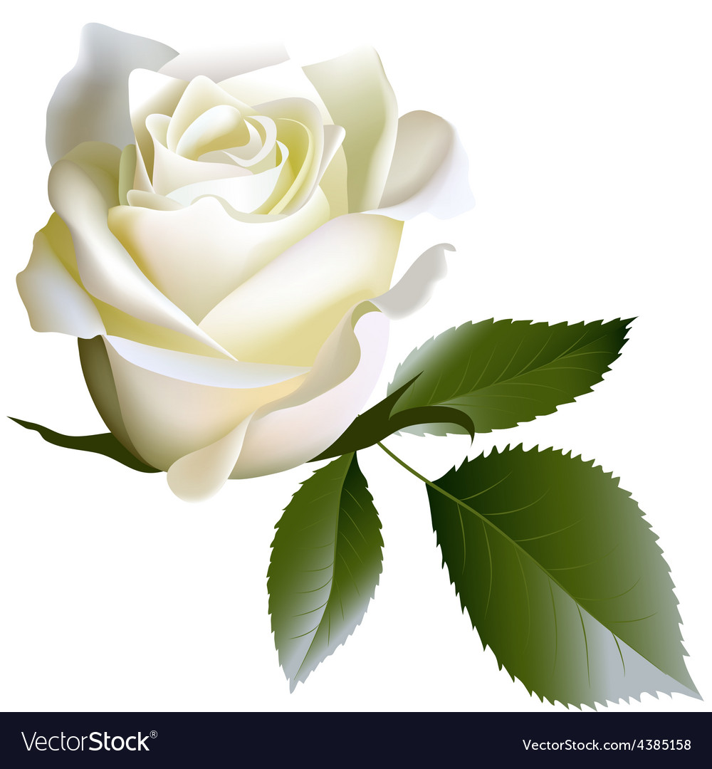White realistic rose flower and leaves vector | Price: 1 Credit (USD $1)