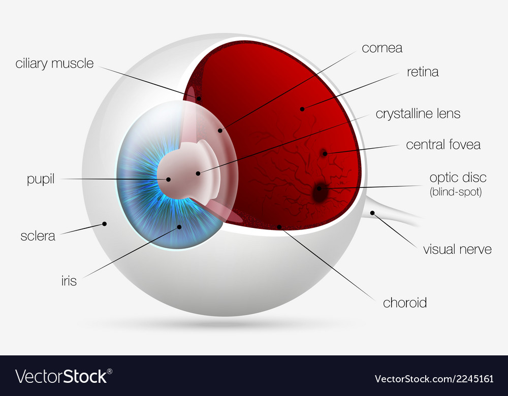 Internal structure of the human eye vector | Price: 1 Credit (USD $1)