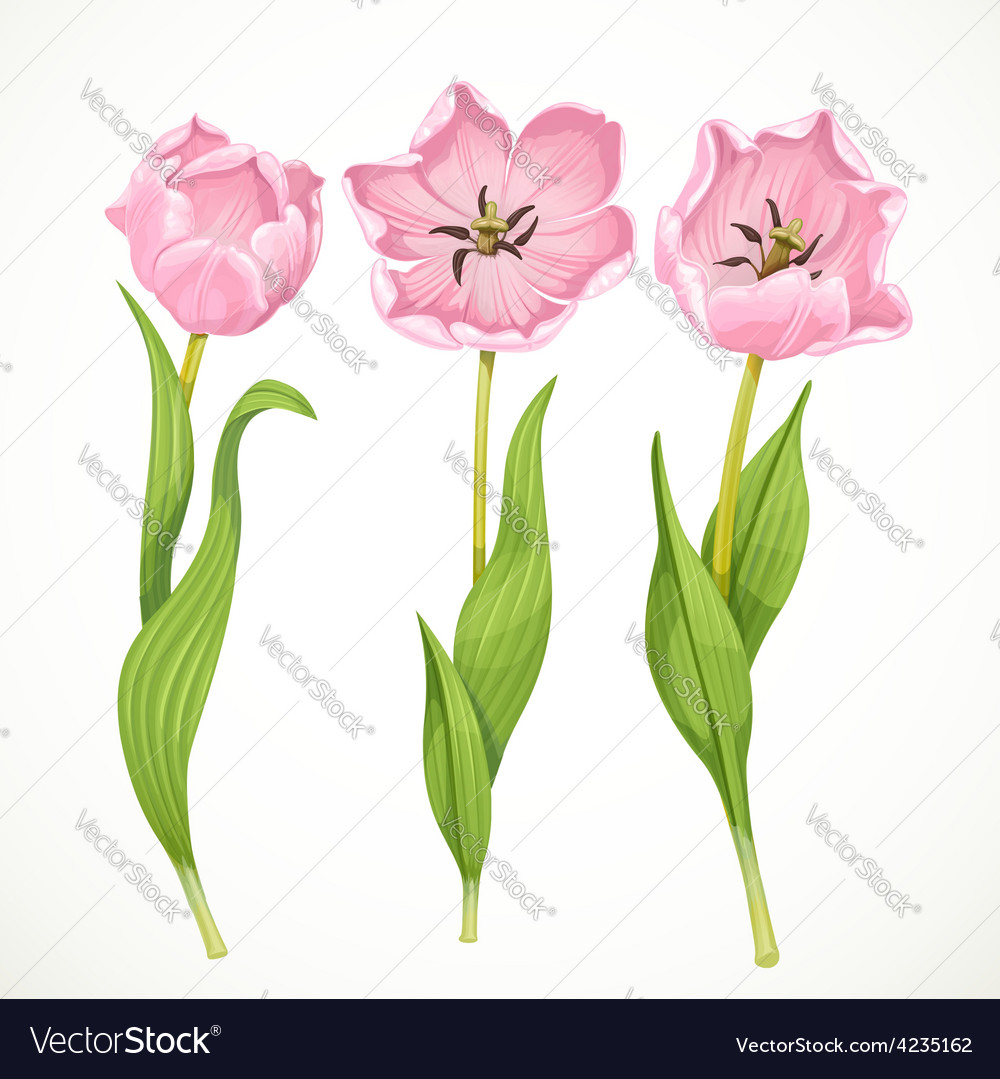 Pink tulips isolated on a white background vector
