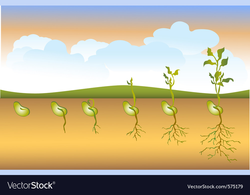 Seed stages of growth vector | Price: 1 Credit (USD $1)