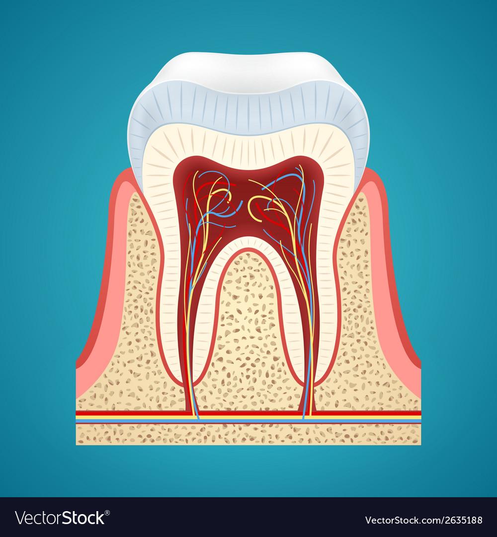 Healthy human tooth in cutaway vector | Price: 1 Credit (USD $1)