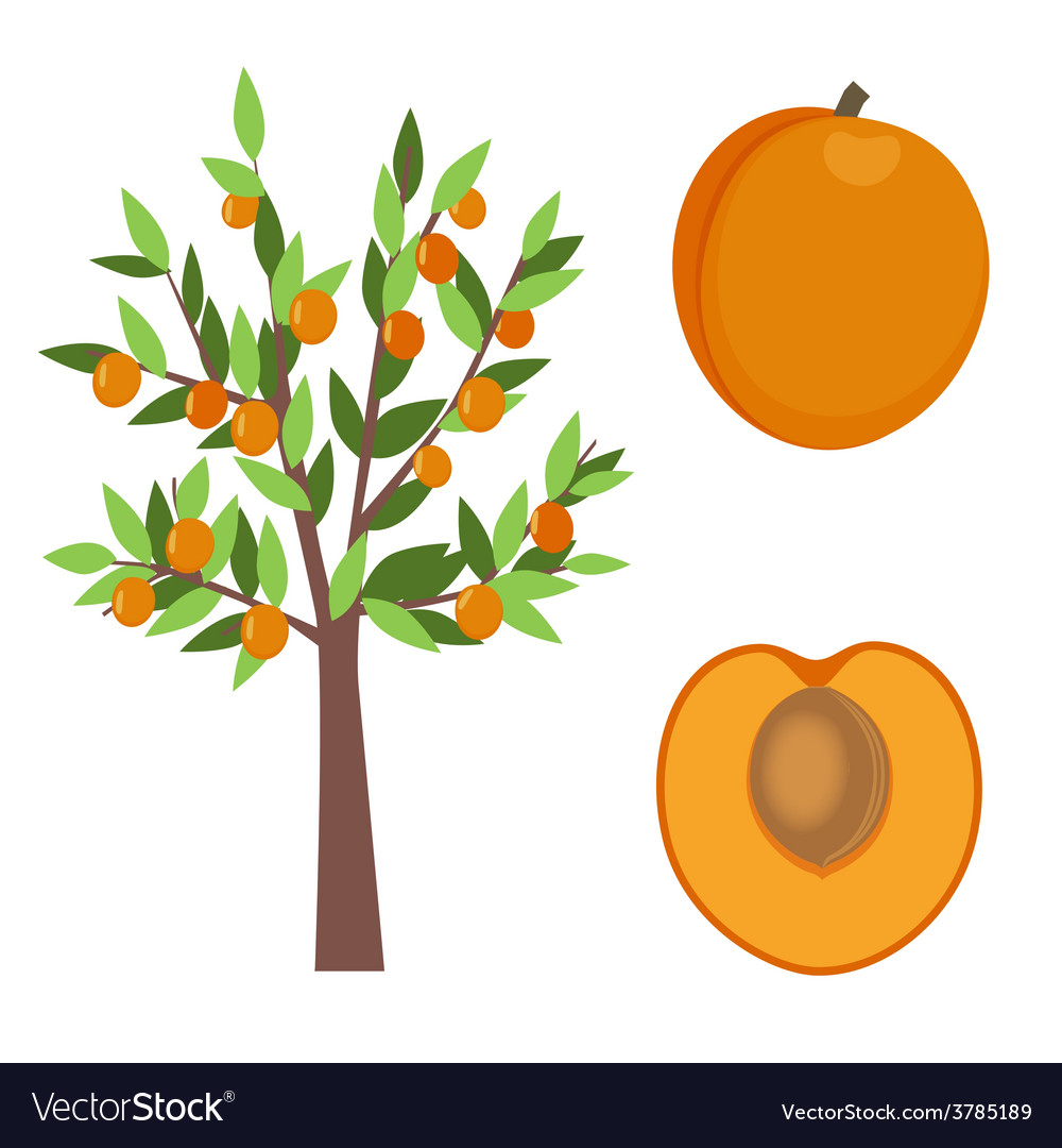 Apricot tree vector | Price: 1 Credit (USD $1)