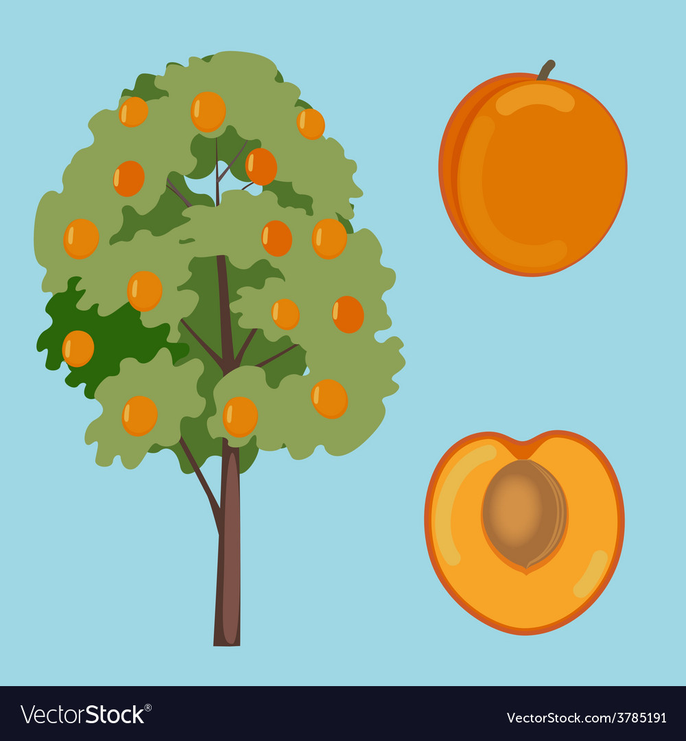 Apricot fruit and tree vector | Price: 1 Credit (USD $1)
