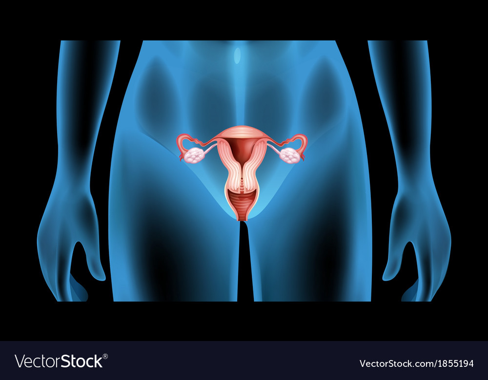 Reproductive organ of the female body vector | Price: 1 Credit (USD $1)