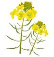 Mustard flower vector