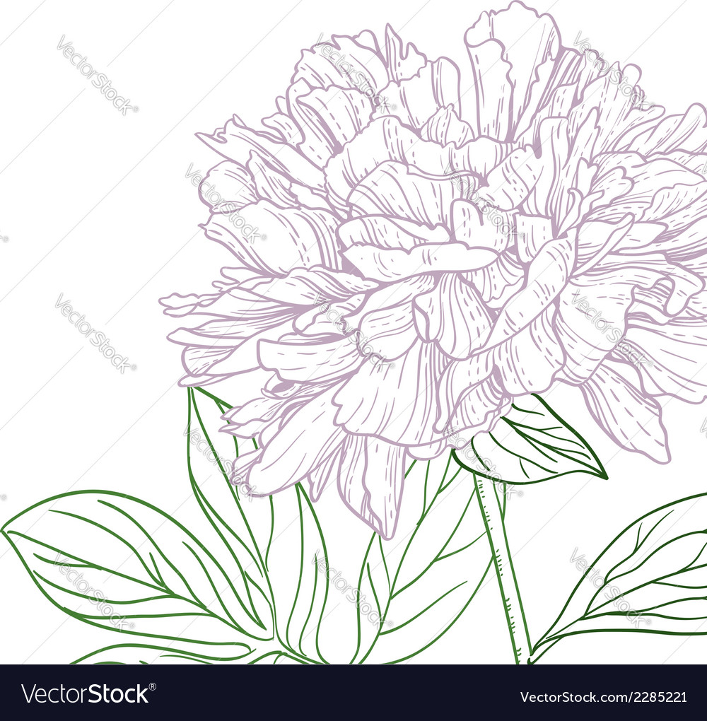 Peonies pink and green line art vector | Price: 1 Credit (USD $1)