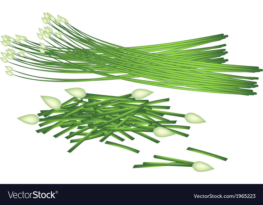 Fresh flowering garlic chives on white background vector | Price: 1 Credit (USD $1)
