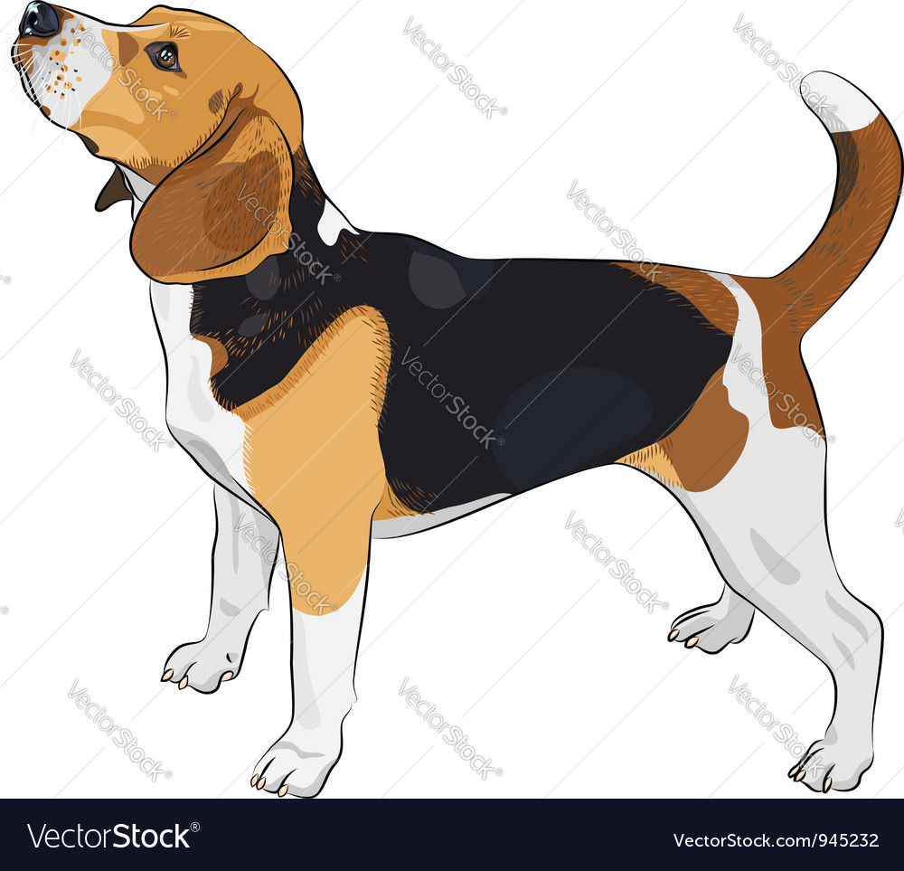 Beagle dog vector | Price: 3 Credit (USD $3)