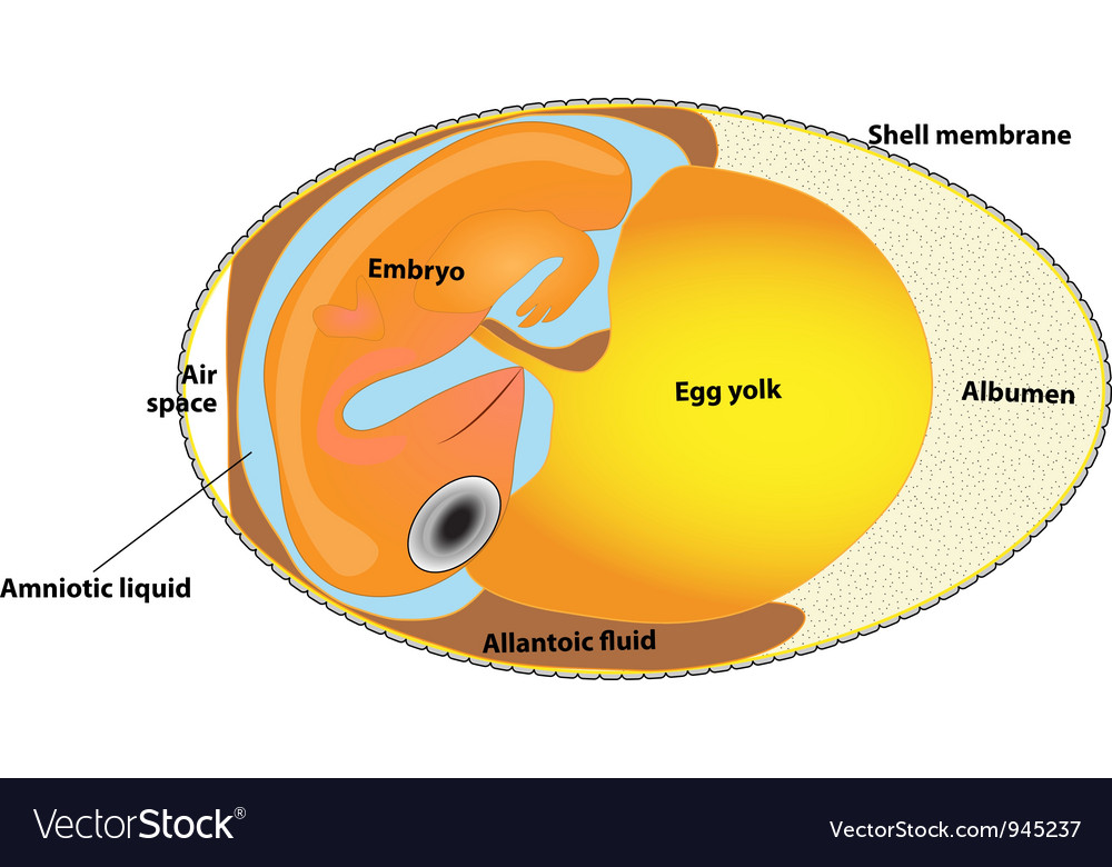 Bird egg embryo diagram vector | Price: 1 Credit (USD $1)