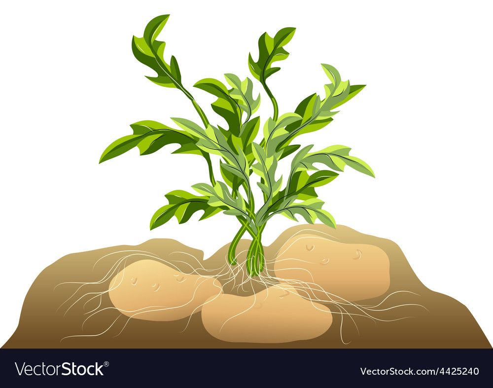 Potato in soil vector | Price: 1 Credit (USD $1)
