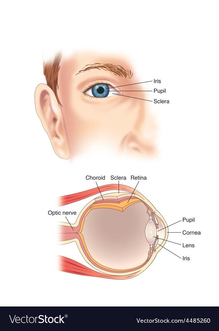 Eye anatomy vector | Price: 3 Credit (USD $3)