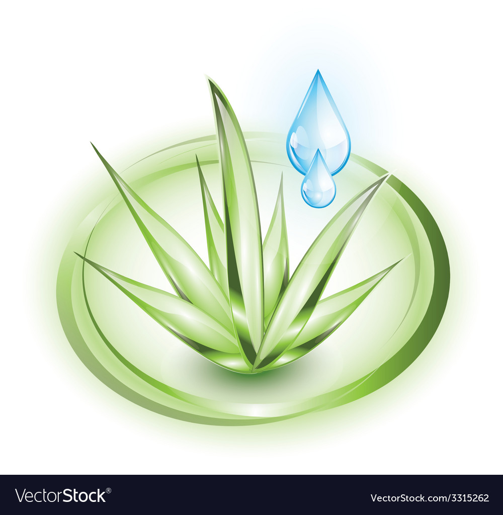 Aloe vera plant with water droplets vector | Price: 3 Credit (USD $3)