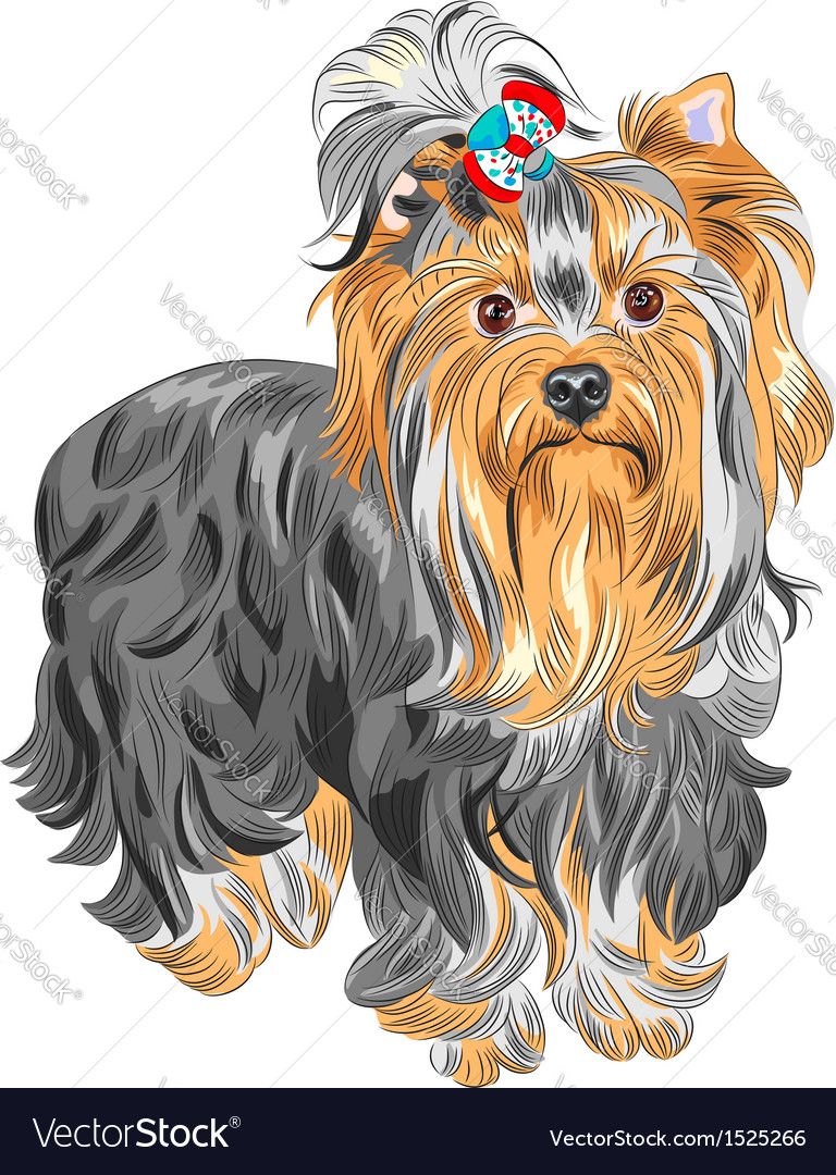 Serious yorkshire terrier vector | Price: 3 Credit (USD $3)