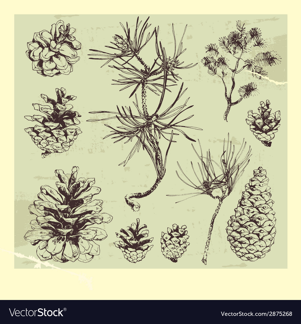 Pine tree vector | Price: 1 Credit (USD $1)
