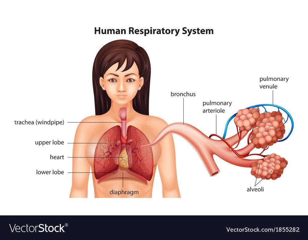 Female human respiratory system vector | Price: 1 Credit (USD $1)