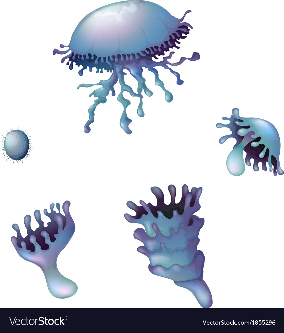 Life cycle of a jellyfish vector | Price: 1 Credit (USD $1)