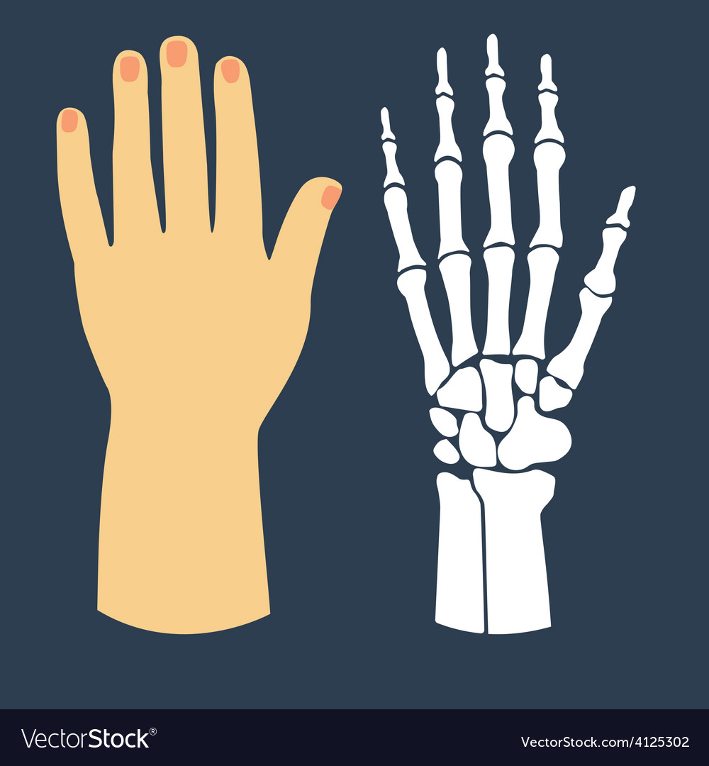 The flat design of the hand and the hand skeleton vector | Price: 1 Credit (USD $1)