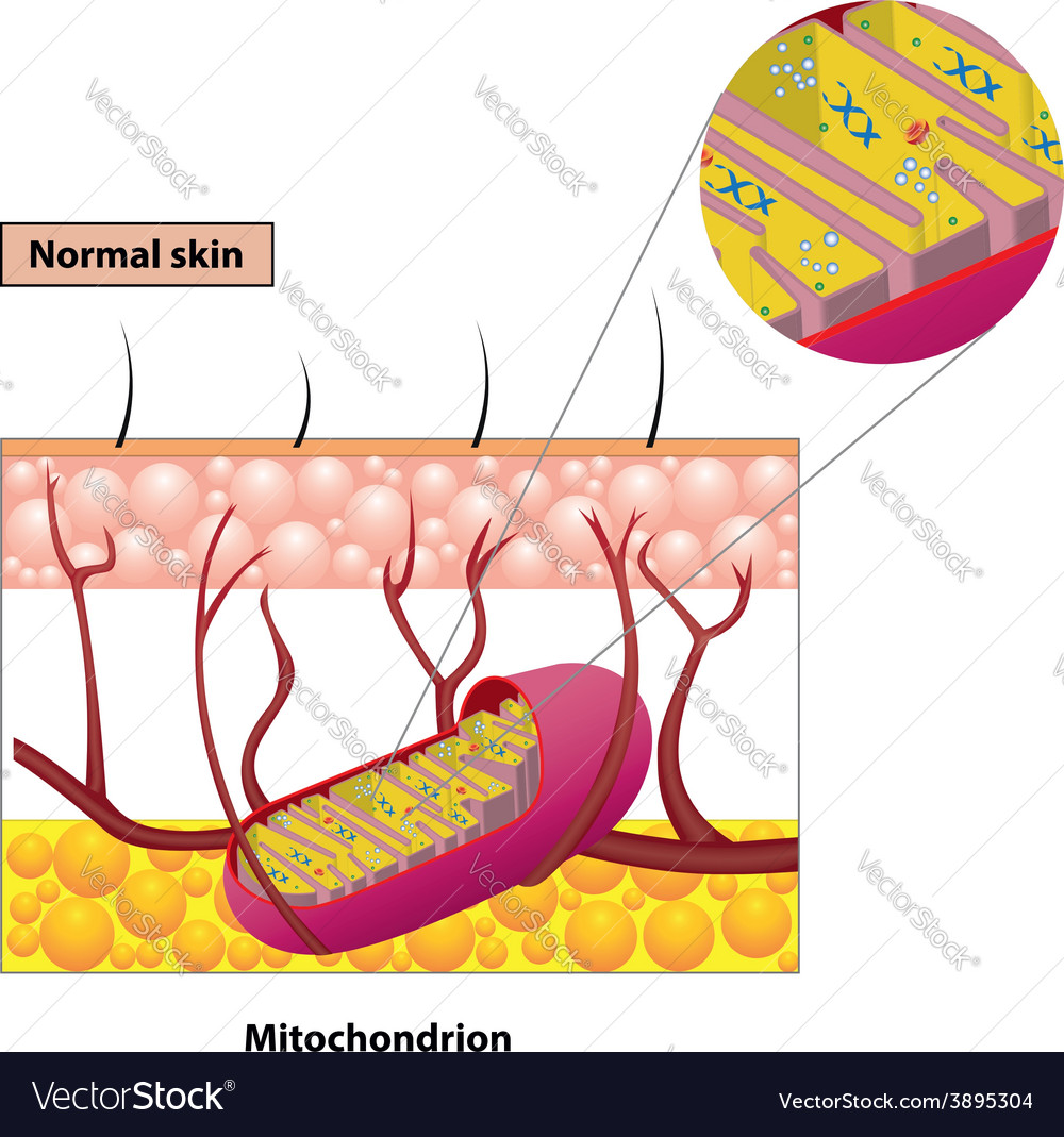 Mitochondrion scheme vector | Price: 1 Credit (USD $1)
