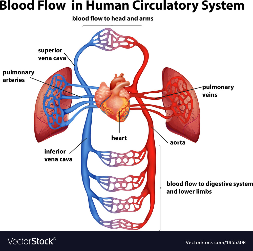 Blood flow in human circulatory system vector | Price: 1 Credit (USD $1)