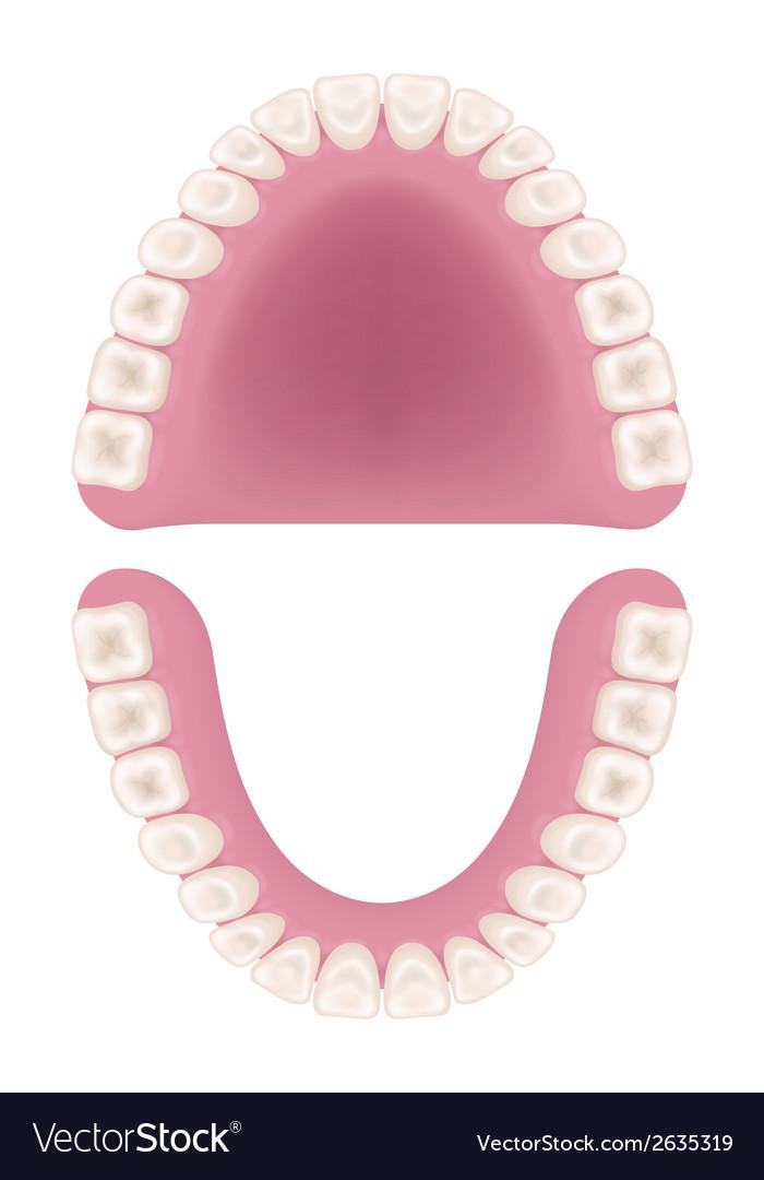Oral cavity vector | Price: 1 Credit (USD $1)