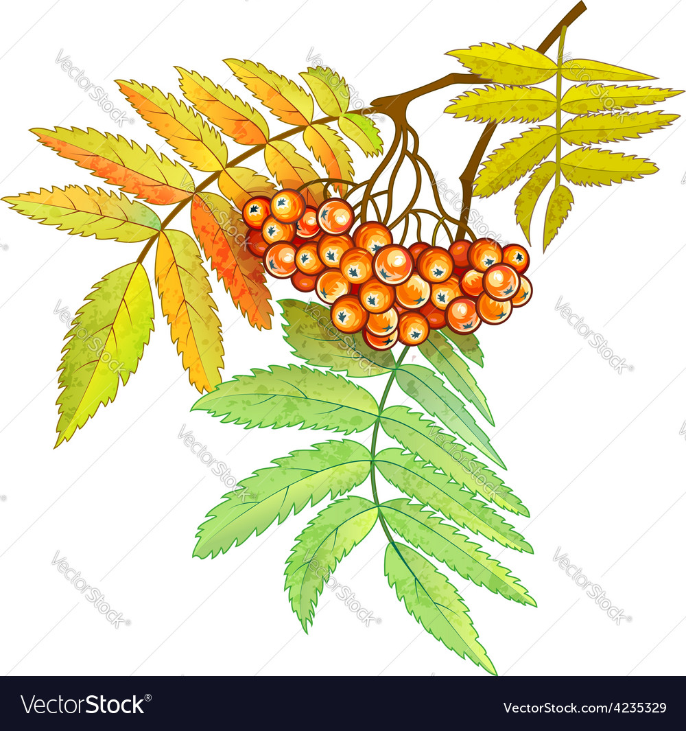 Autumn branch of rowan with vector | Price: 1 Credit (USD $1)
