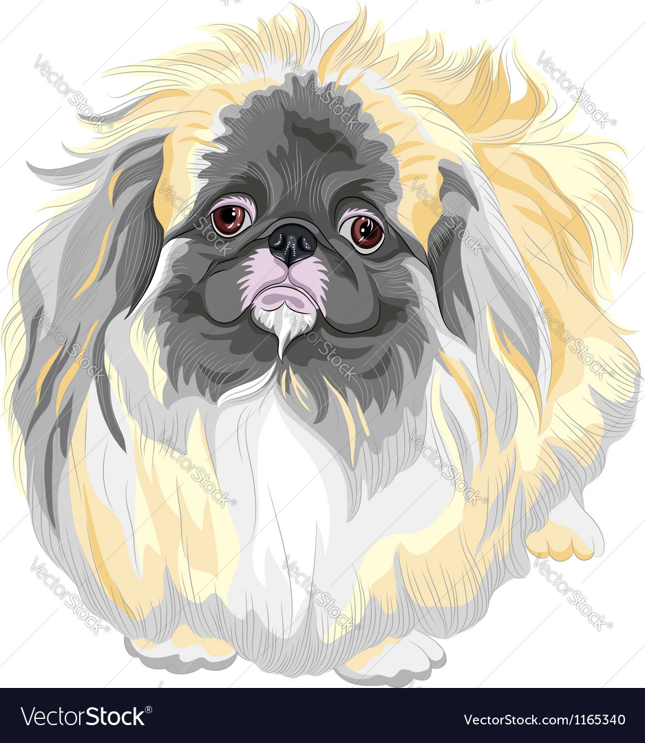 Pedigreed dog sable pekingese breed vector | Price: 3 Credit (USD $3)