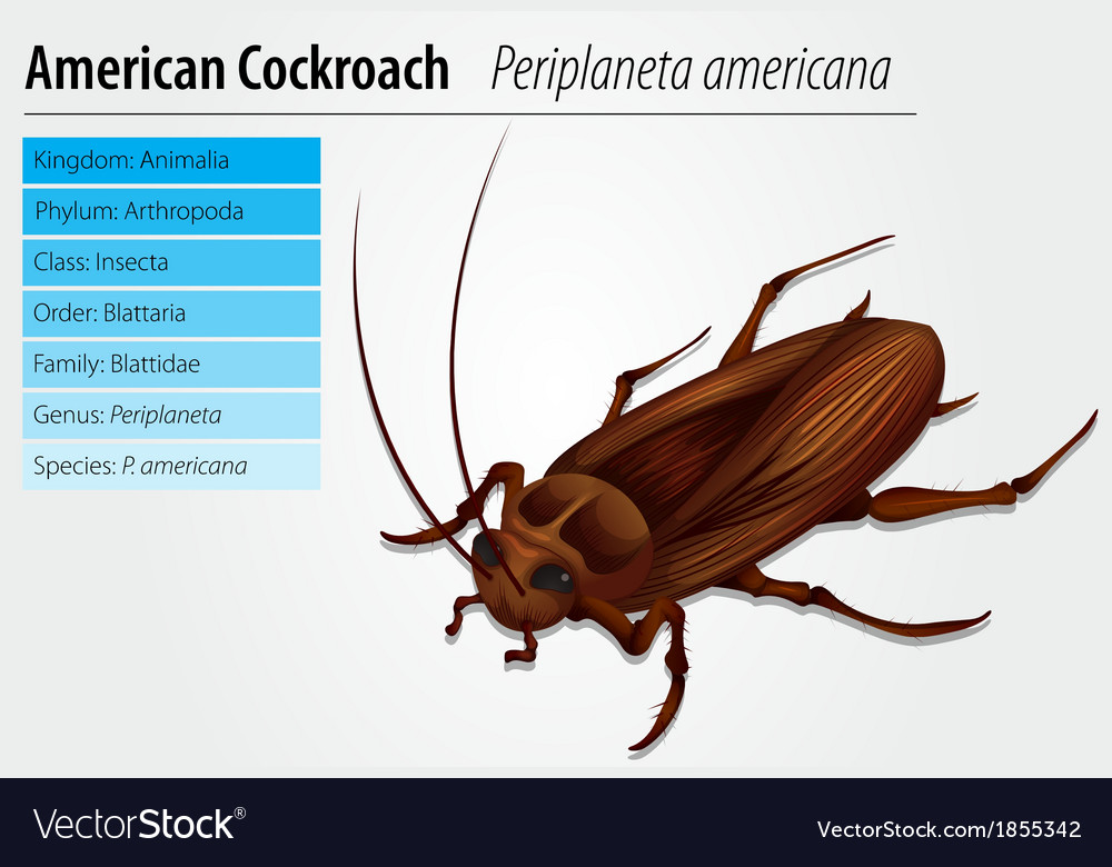 Periplaneta americana- cockroach vector | Price: 1 Credit (USD $1)