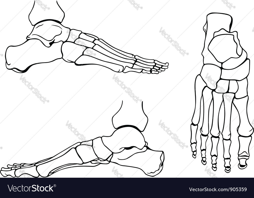 Foot bones vector | Price: 1 Credit (USD $1)
