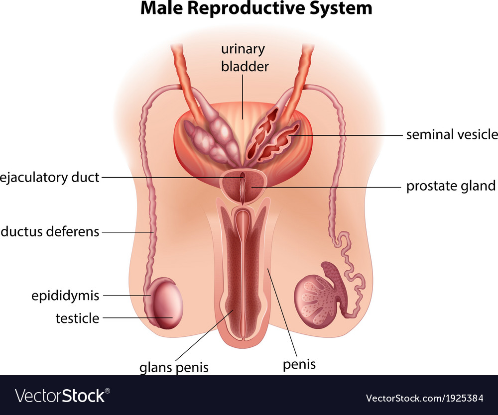 Anatomy of the male reproductive system vector | Price: 1 Credit (USD $1)