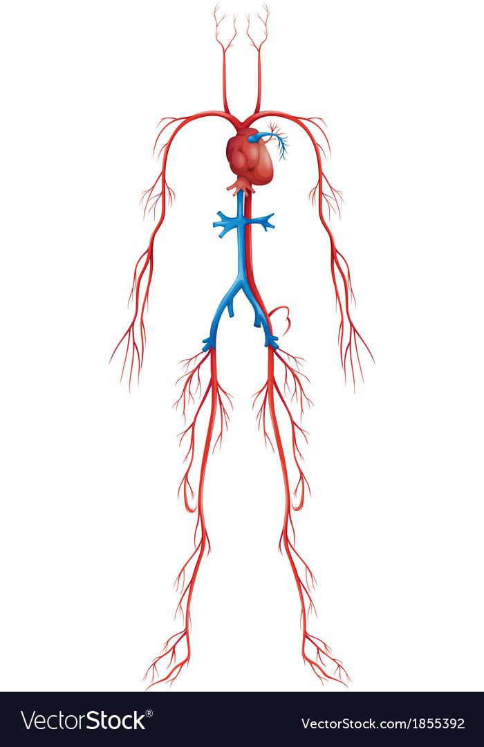 Circulatory system vector | Price: 1 Credit (USD $1)
