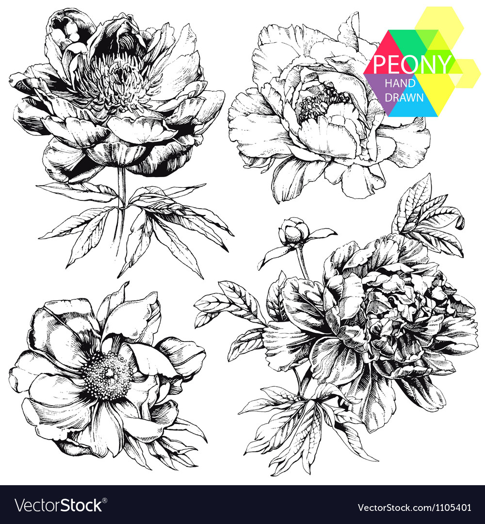Peonies vector | Price: 1 Credit (USD $1)