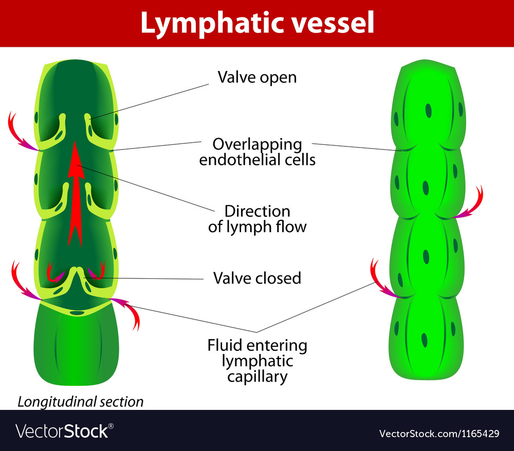 Lymphatic vessel vector | Price: 1 Credit (USD $1)