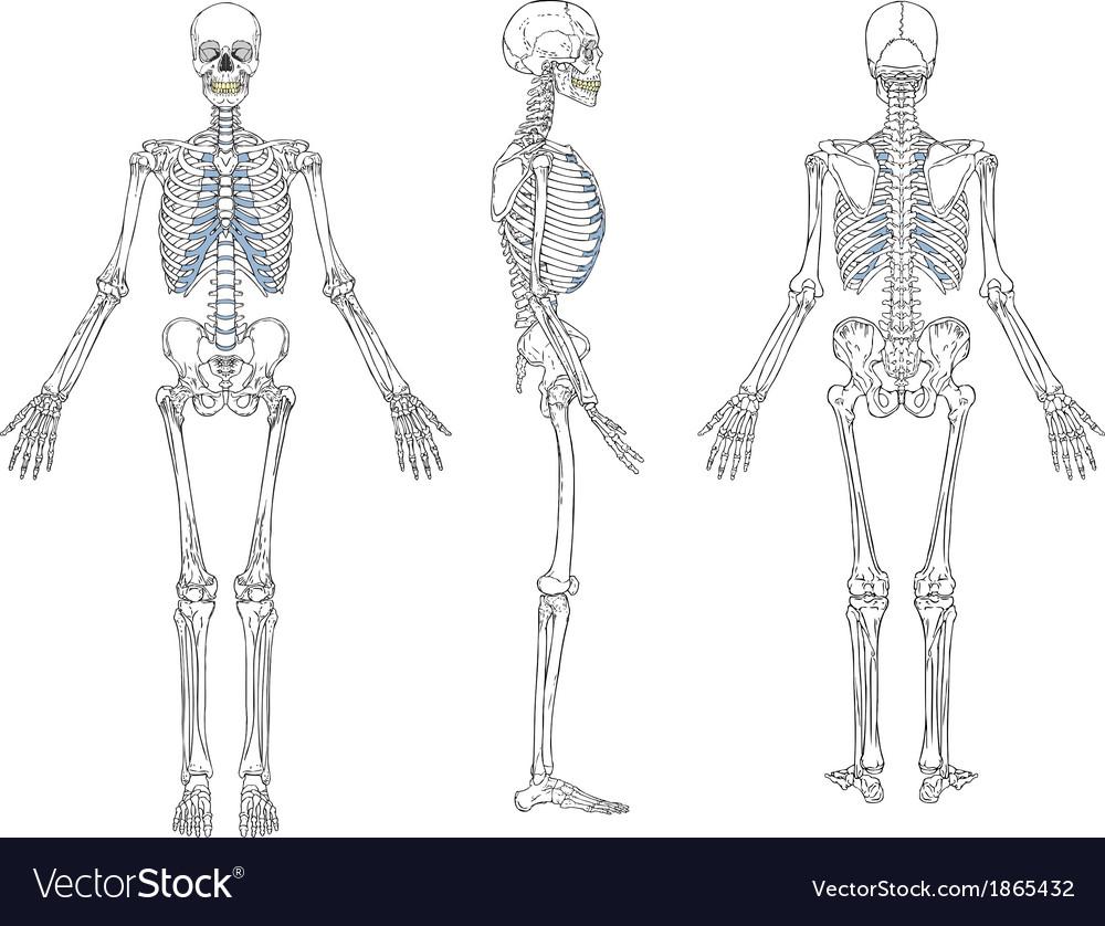 Human skeleton blueprint vector | Price: 1 Credit (USD $1)
