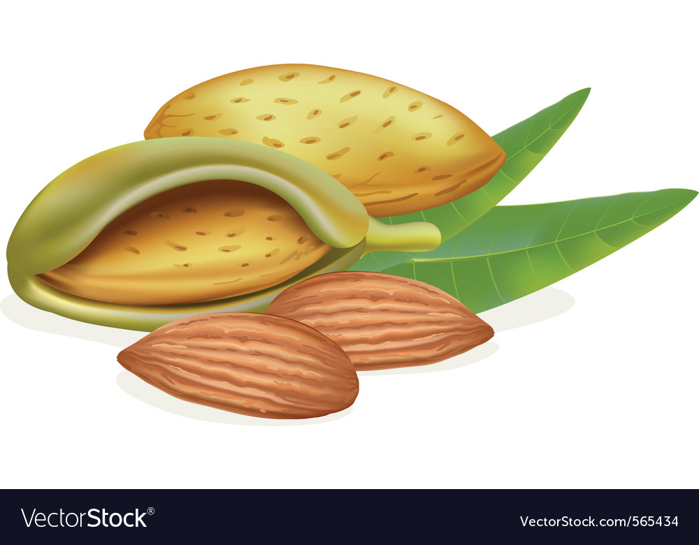 Ripe almonds vector | Price: 1 Credit (USD $1)