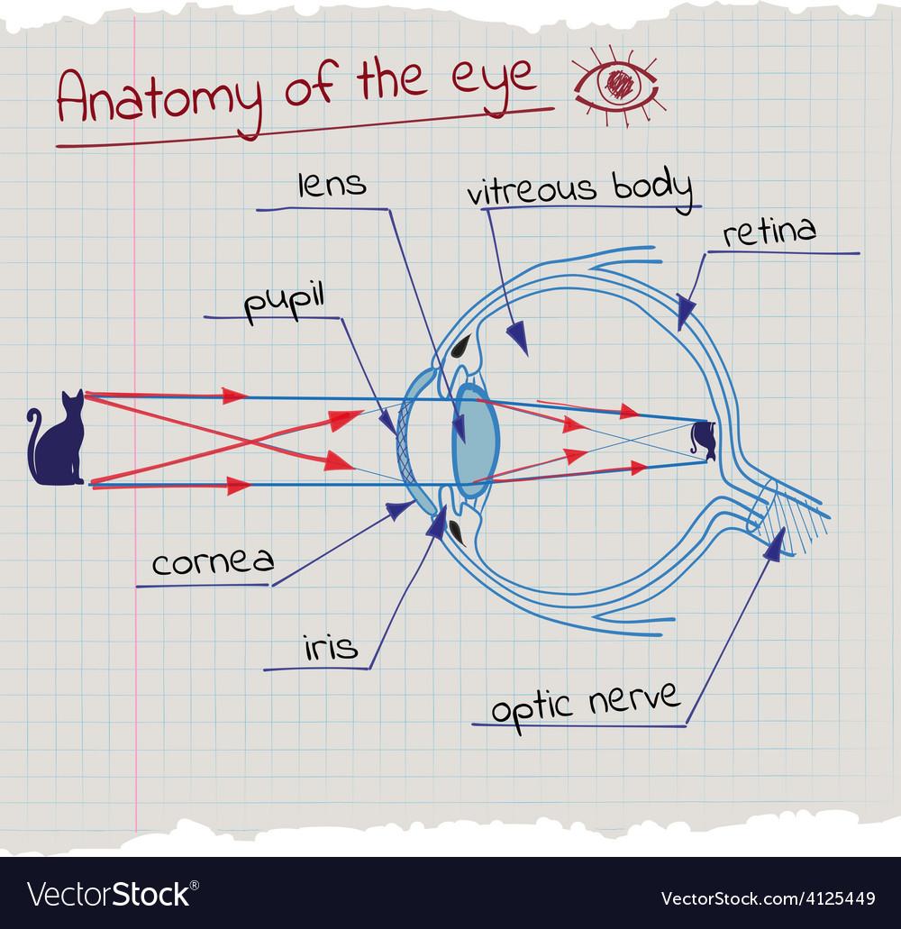 Anatomy of the eye vector | Price: 1 Credit (USD $1)