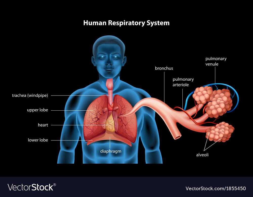 Respiratory system vector | Price: 1 Credit (USD $1)