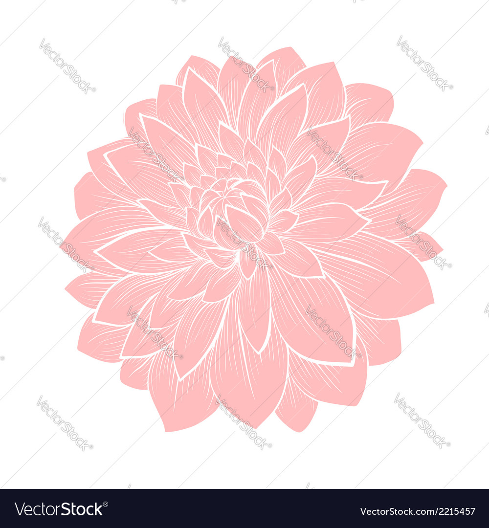 Dahlia flower isolated on white vector | Price: 1 Credit (USD $1)