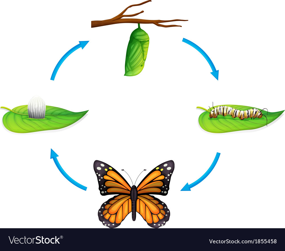 Life cycle - danaus plexippus vector | Price: 1 Credit (USD $1)